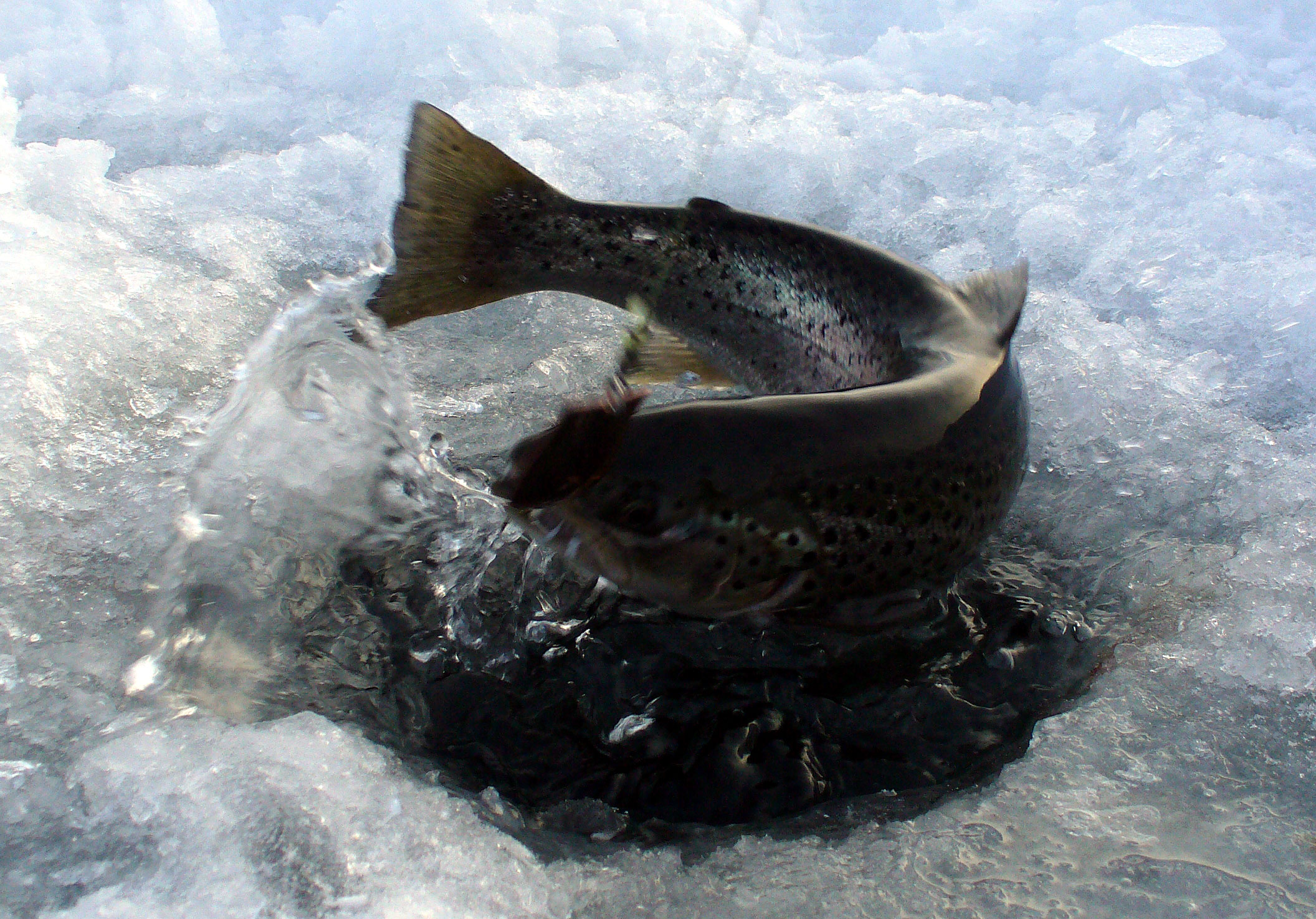 Ice fishing trout, Swedish Lapland